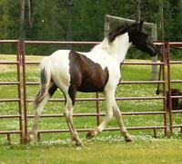 Flashy black and white Sport Horse Prospects