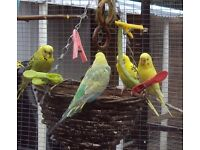 Beautiful Aviary budgies aged between 5 months to 18 months for sale