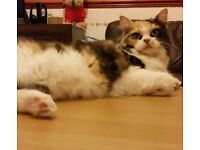 Gorgeous Fluffy Cat Needs New Home Free