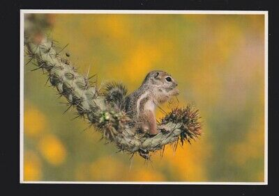 Antelope Ground Squirrel Chipmunk feed on a variety of cactus fruits &  postcard