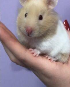 beige/white syrian hamster