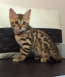 Purebred Bengal kitte- priced to go