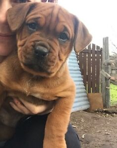 Boxer x Rottweiler puppies Darling Downs Serpentine Area Preview