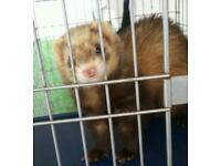 Ferret Jills for sale