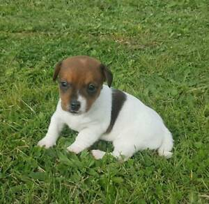Jack Russell Puppy Female