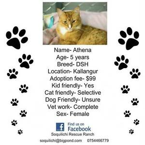 ATHENA 5 YEAR OLD GORGEOUS GINGER KITTY Kallangur Pine Rivers Area Preview