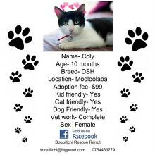 10 month old female DSH available for adoption Mooloolaba Maroochydore Area Preview