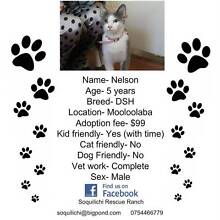 5 year old Male DSH available for adoption Mooloolaba Maroochydore Area Preview