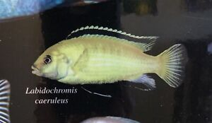 1 Electric Yellow Cichlid