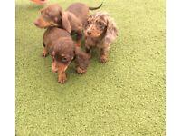 Miniature dachshund puppie