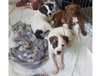 Staffy x mastiff BOY puppies left