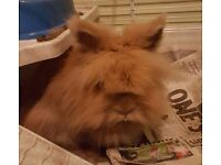 House Rabbit - FREE TO A GOOD HOME