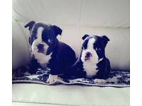 Boston Terrier Puppies (ONLY 1 MALE PUP REMAINING)