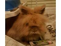 Lion haired indoor rabbit