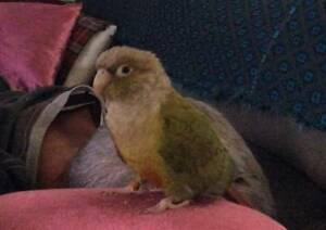 Wanted:   LOST BIRD Cessnock Cessnock Area Preview