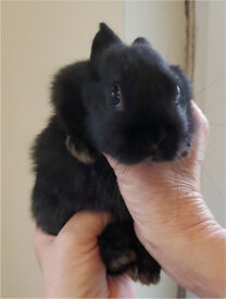 Beautiful Dutch Cross Baby Rabbits For Sale