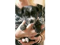 8 weeks Cairn x Yorkshire terrier puppy