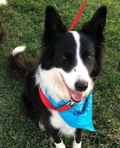 ISO BORDER COLLIE