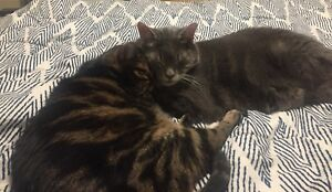 Two Adult Cats Free to a Good Home