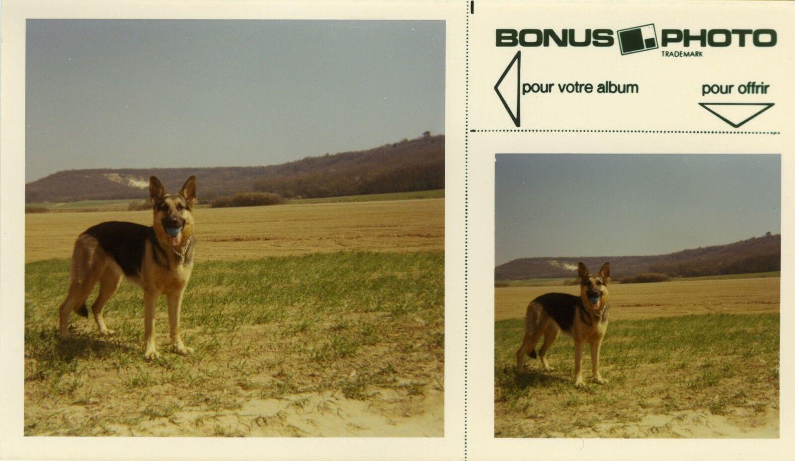 Photo ancienne - vintage snapshot - animal chien berger allemand bonus - dog 10