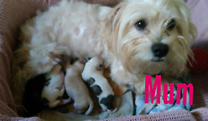 Maltese x Shih Tzu Kingaroy South Burnett Area Preview