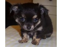 Chihuahua puppy long hair tri colour small boy still available to the right home, Loves everybody