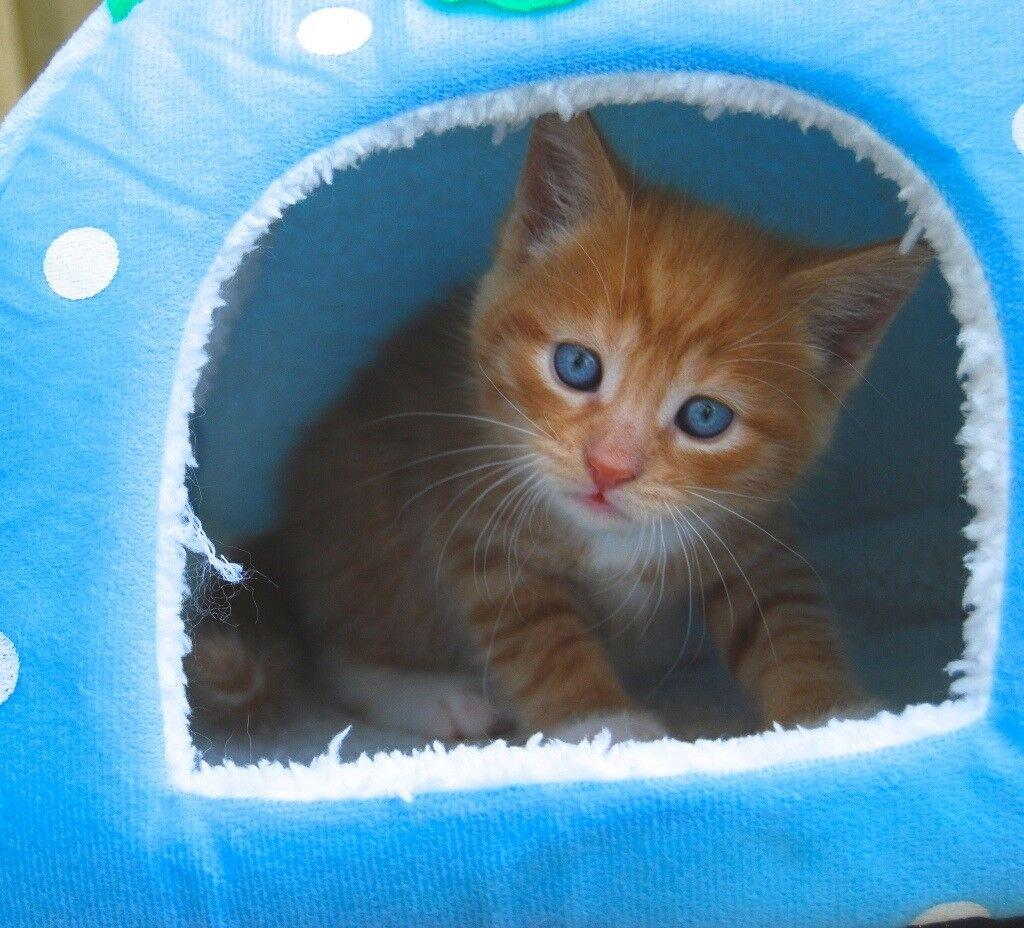 Red (Ginger) Tabby 3/4 British Shorthair Kitten | in Ayr ...