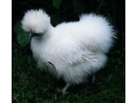 Silkie Point of Lay Chickens for Sale - Various Colours