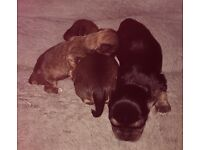 FOR SALE! 3 chorkie pups ready in 7 weeks