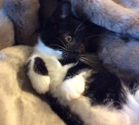 Very pretty little black / white female kitten - flea & worm treated fully litter trained
