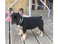 5 stunning Kc reg Black&tan& blue French bulldog pups