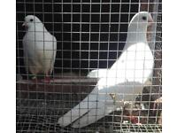 Tumbles/Rollers pigeon for sale
