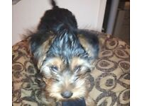 Yorkshire terriers puppy , boy