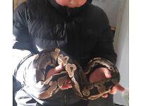 snake / royal python
