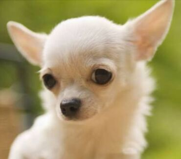 Wanted: WANTED Female Chihuahua