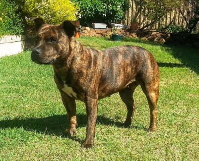 Female Staffordshire  Good natured 2 yrs. old Seeks Good natured Swan View Swan Area Preview