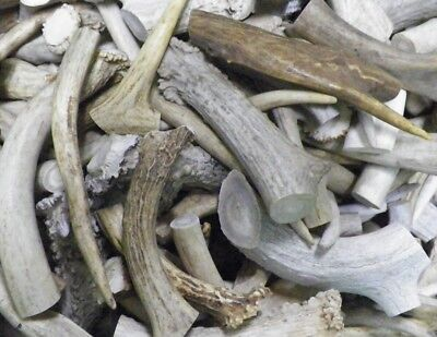 201204-H Drilled Antler Pieces Moose Antler Slices for Earrings 3 Pairs Natural as Shown Lot No