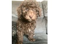 Stunning TOY POODLE poodle puppies! chocolate & phantom