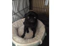 Black male pug for sale