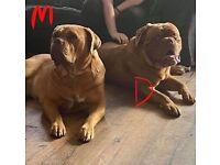 Dog De Bordeaux puppies