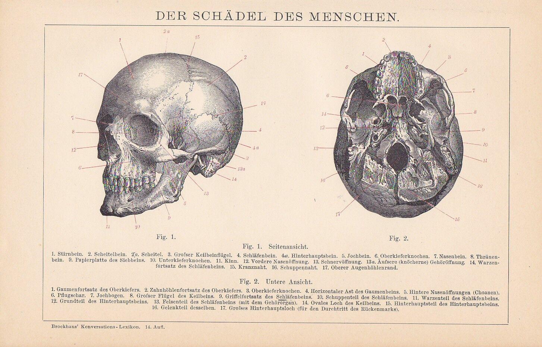 SCHÄDEL DES MENSCHEN Skull HOLZSTICH von 1895 Schädelknochen