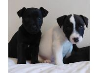 3/4 patterdale x jack russel puppies
