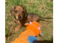 KC registered mini dachshund puppies