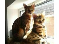 Beautiful Bengal Cats