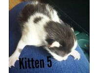 5 kittens. Ready to go second week of june