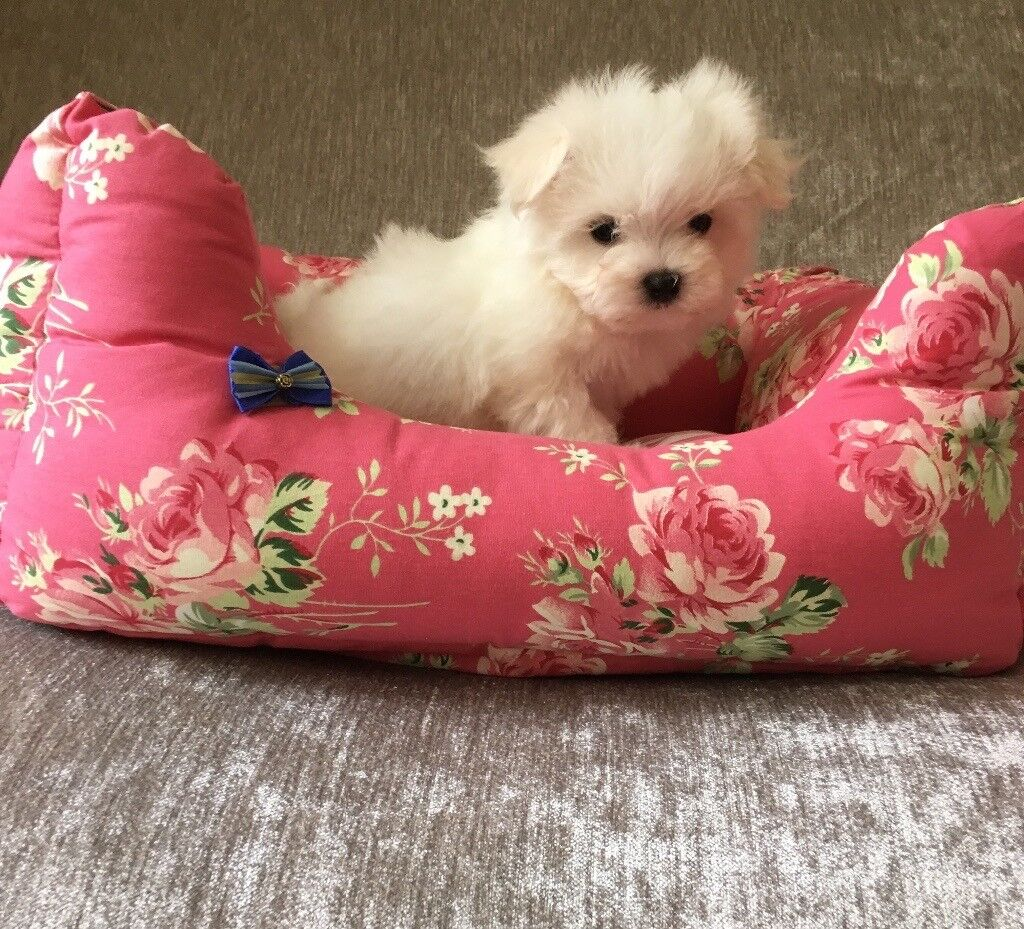 Stunning little Maltese puppies cutest puppy small little dog bitch girl and boy nonmoulting white