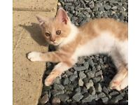 Kitten 9 weeks GIRL cream/fawn and white ready now