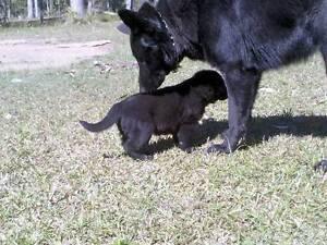 German Shepherd pups Richmond Valley Preview
