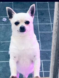 13 month male chihuahua