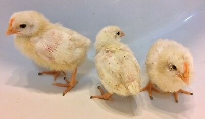 6 - Pure White Leghorn Chicken Fertile Hatching Eggs Fresh Daily Hatch Incubate